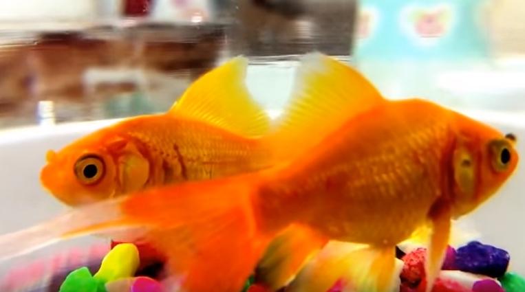 Japon Balıklarının Harika Görüntüsü